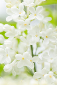 Blooming Lilac, white flowers close-up natural outdoor setting