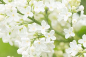 Blooming Lilac, white flowers close-up natural outdoor setting, early summer green background