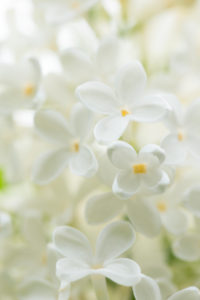 White blooming Lilac, flowers close-up