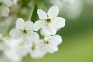 White flowering cherry blossoms close-up, natural outdoor setting, early summer green background