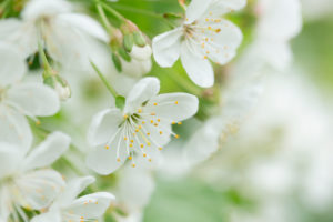 White flowering cherry blossoms close-up, natural outdoor setting with bokeh