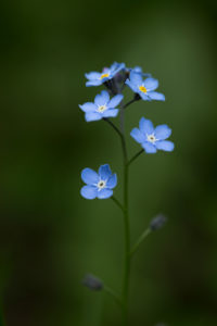 Forget-me-not close-up in a natural setting, dark green background