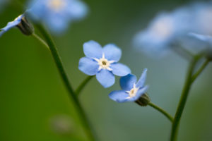 Forget-me-not close-up in a natural setting, bokeh background