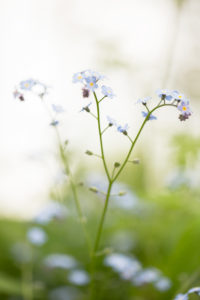 Forget-me-not in a natural setting, light background