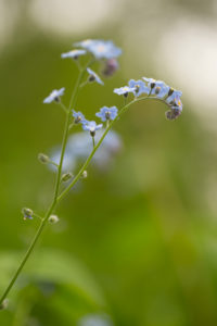 Forget-me-not, nature green background, bokeh background