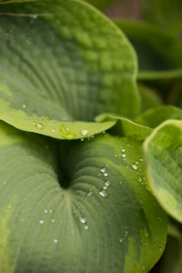 Raindrops on Hosta Perennial leaves