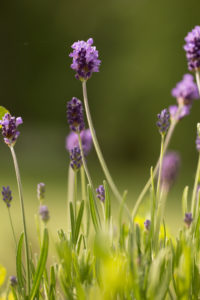 Lavender in garden, dark green background