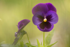 Raindrop on pansy petal, blurred green natural background