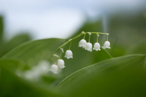 Lily of the valley, natural background
