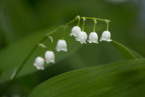 Close-up of Lily of the valley, green natural background