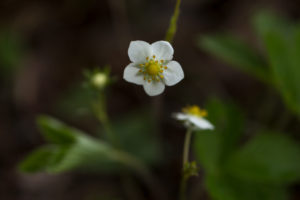 Wild Strawberry Flower, Fragaria vesca, natural background