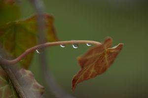 Raindrops on an ivy leaf stem