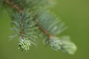 Spruce Sprout, green natural green background