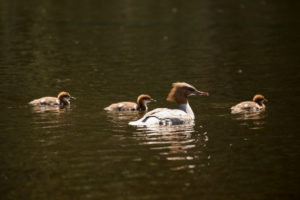 Mergus Merganser, mother bird and tree chicks, Finland