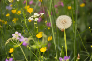 Blow Ball, Dandelion, Summer meadow