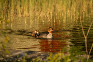 Mergus merganser, mother bird with chicks, Finland
