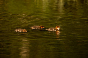 Mergus merganser chicks swimming, Finland
