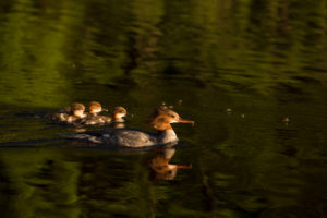 Mergus merganser, mother bird with tree chicks, summer scene by the lake, Finland