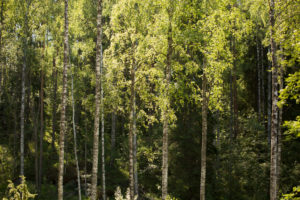 Birch trees against the dark forest, summer scenery, Finland