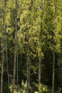 Birch trees against the dark forest, summer scenery