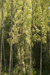Birch trees landscape, summer scenery, Finland