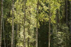 Birch trees against the dark forest, light and shadows, summer scenery
