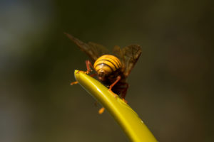 Willow Sawfly, Cimbex luteus,