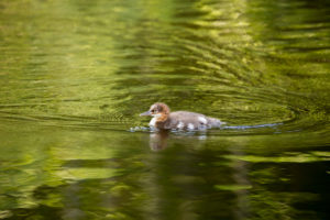 Mergus Merganser, chick, swimming, lake, Finland
