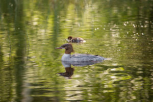Mergus Merganser, adult female, chick, swimming, lake, Finland