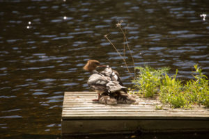 Mergus Merganser, chicks, resting, lake, Finland