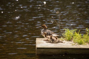 Mergus Merganser, adult female, chicks, resting, lake, Finland