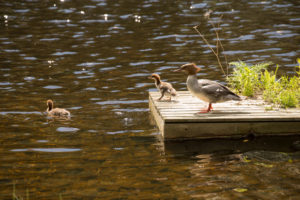 Mergus Merganser, adult female, chicks, swimming, lake, Finland