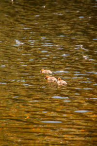 Mergus Merganser, chicks, swimming, lake, Finland