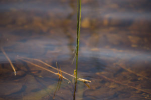Coenagrionidae on a reed, lake surface background