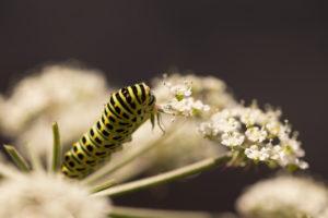 Papilio machaon larva on apiaceae plant, dark nature background