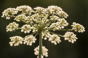 Apiaceae plant, white flowering, dark background