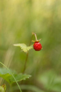 Wild strawberry, ripe berry, green natural background