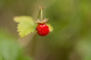 Wild strawberry close-up, natural environment background