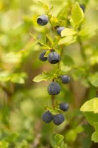 Blueberry twig with ripe berries, natural environment background, Finland