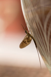 Mayfly (disambiguation) close-up on glass vase surface