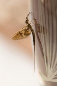Mayfly (disambiguation) with reflection on glass vase surface