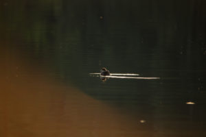 Golden eye chick, scene on the lake at evening