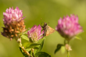 Butterfly on Red clover, natural environment
