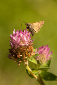 Butterfly on Red clover, natural green blurred background