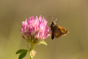 Butterfly on red clover, natural brownish background