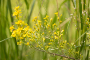 Solidago virgaurea in close-up, green nature background