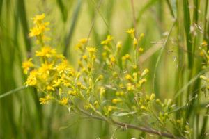 Solidago virgaurea in close-up, green nature background