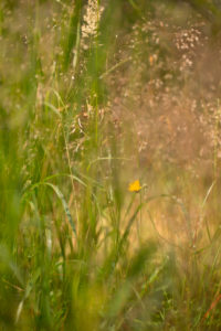 Yellow wild flower with hays, summer scenery