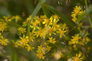 Yellow Flowers, Solidago virgaurea, natural environment