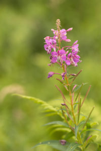 Rosebay Willowherb, Chamaenerion angustifolium